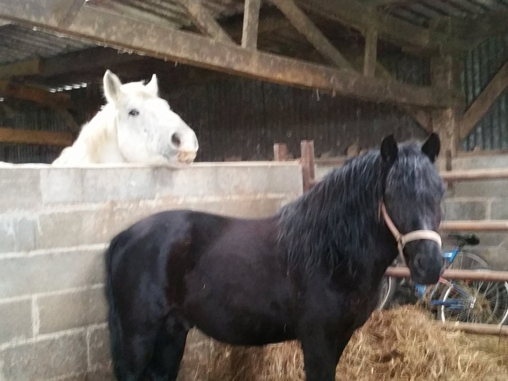 ULAN DE PIGEARD - trait percheron PP - 12 ans 86490411
