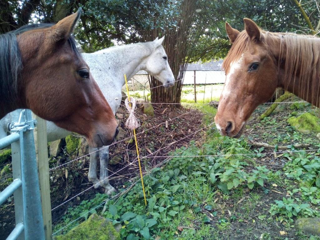BELLOU - cheval alezan - 30 ans (FA longue durée) Bellou10
