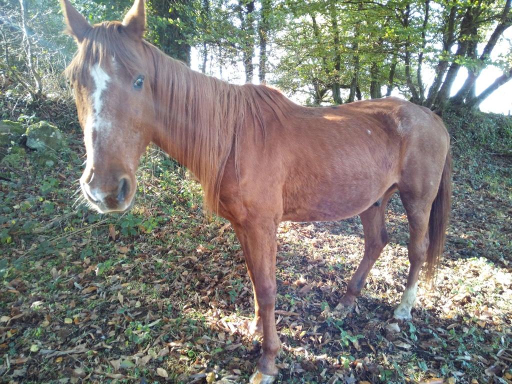 BELLOU - cheval alezan - 30 ans (FA longue durée) Bellou12