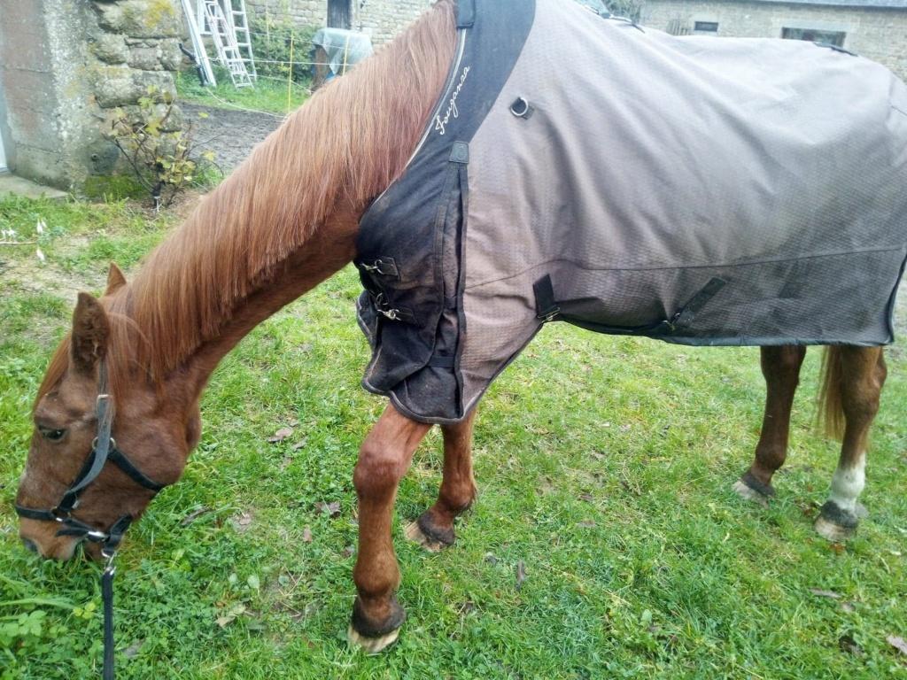 BELLOU - cheval alezan - 30 ans (FA longue durée) Bellou13