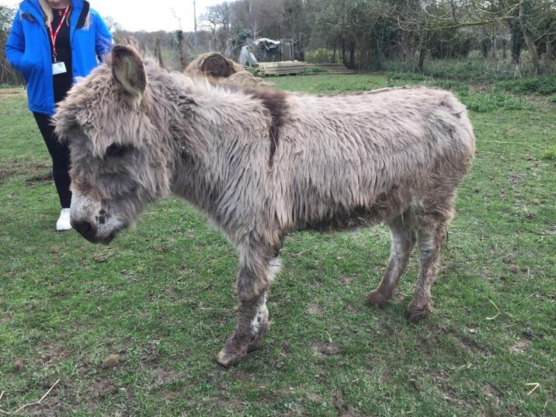 CALICHON - âne gris de petite taille - 25 ans Calich10