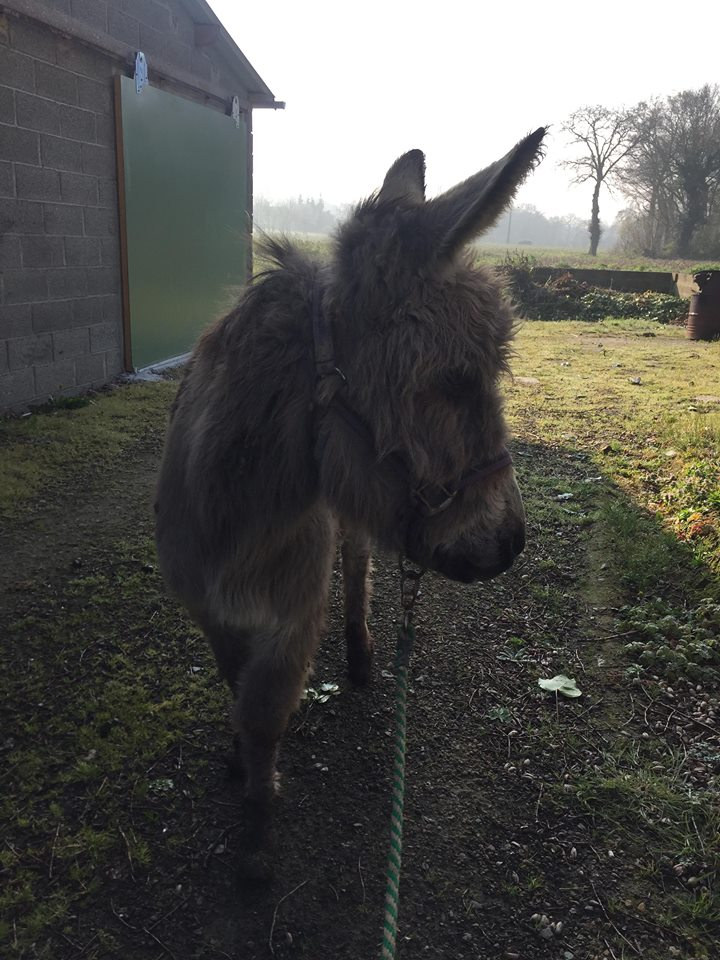 CALICHON - âne gris de petite taille - 25 ans Calich13