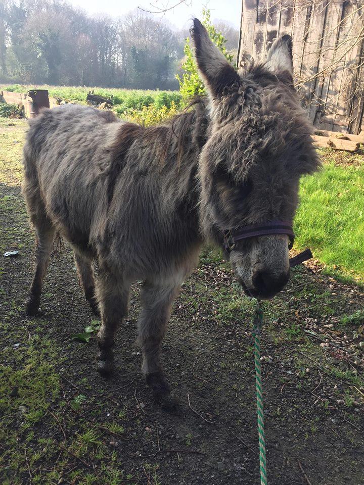 CALICHON - âne gris de petite taille - 25 ans Calich16
