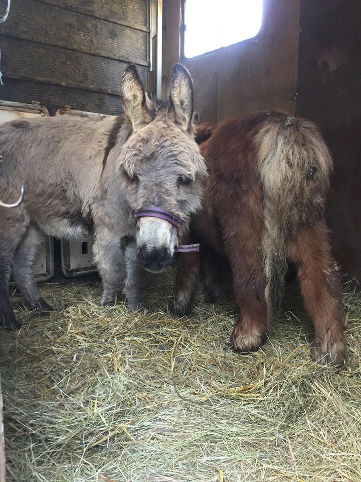 CALICHON - âne gris de petite taille - 25 ans Calich19