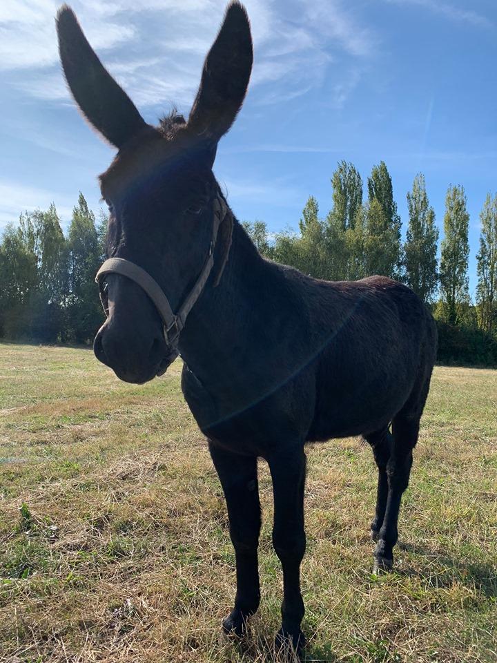 IPSO - âne mâle noir - 1 an Ipso_910