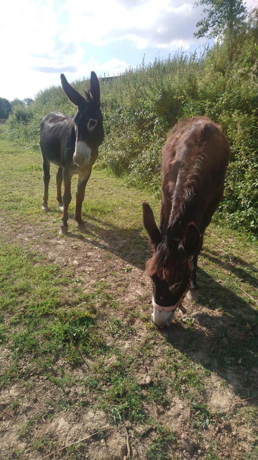 JUSTIN - âne mâle noir - 10 ans Justin11