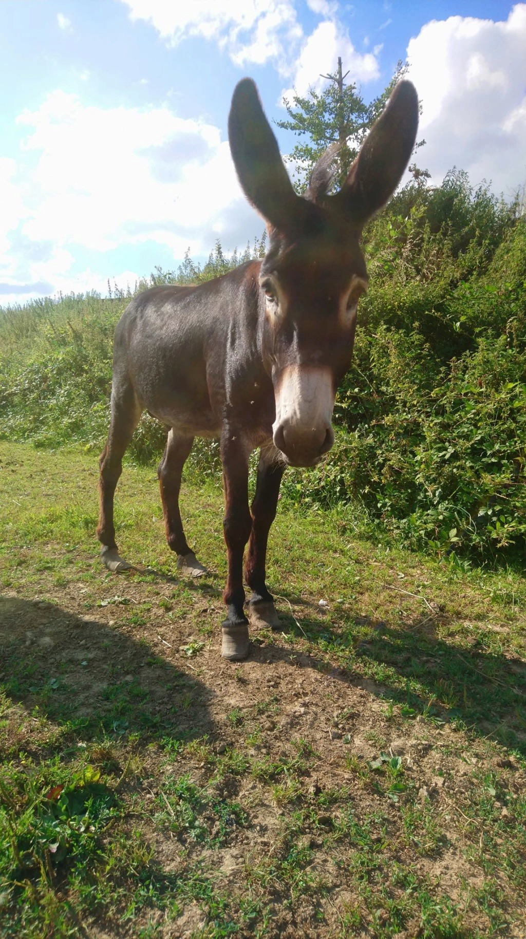 JUSTIN - âne mâle noir - 10 ans Justin12
