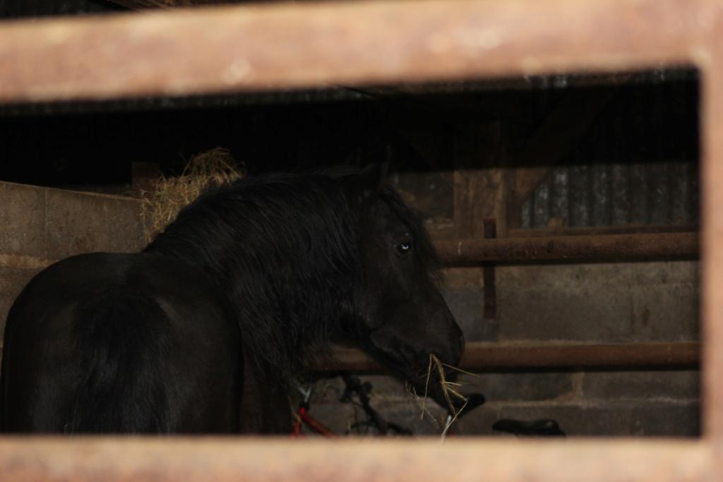 KIERO - poney entier noir -  Kiero_10