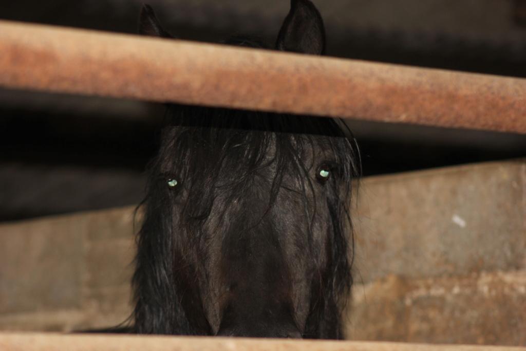 KIERO - poney entier noir -  Kiero_12