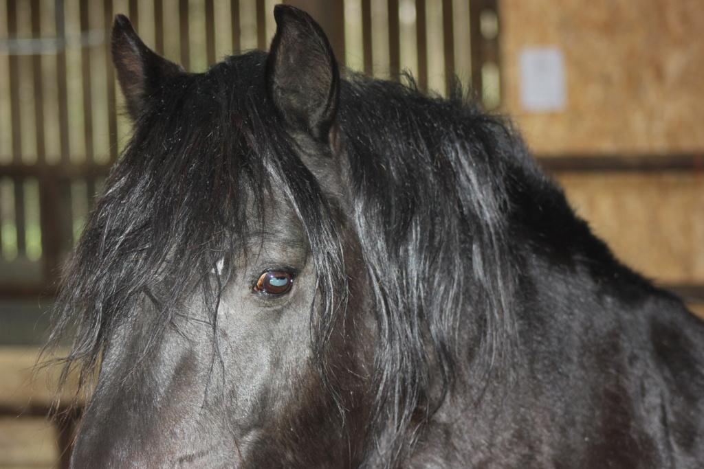 KIERO - poney entier noir -  Kiero_13