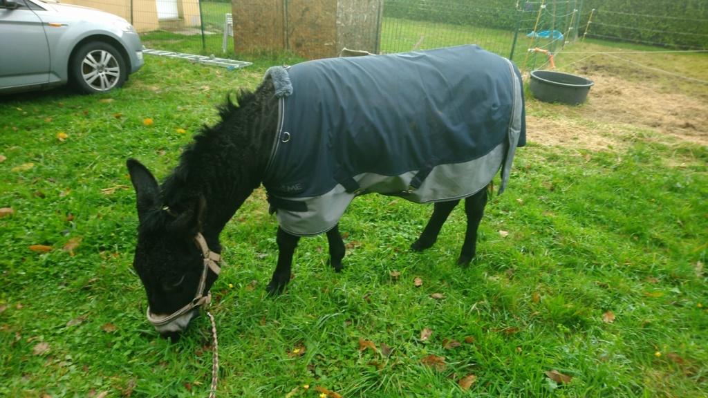 PACO - âne mâle noir - 5 ans (réservé) Paco_113