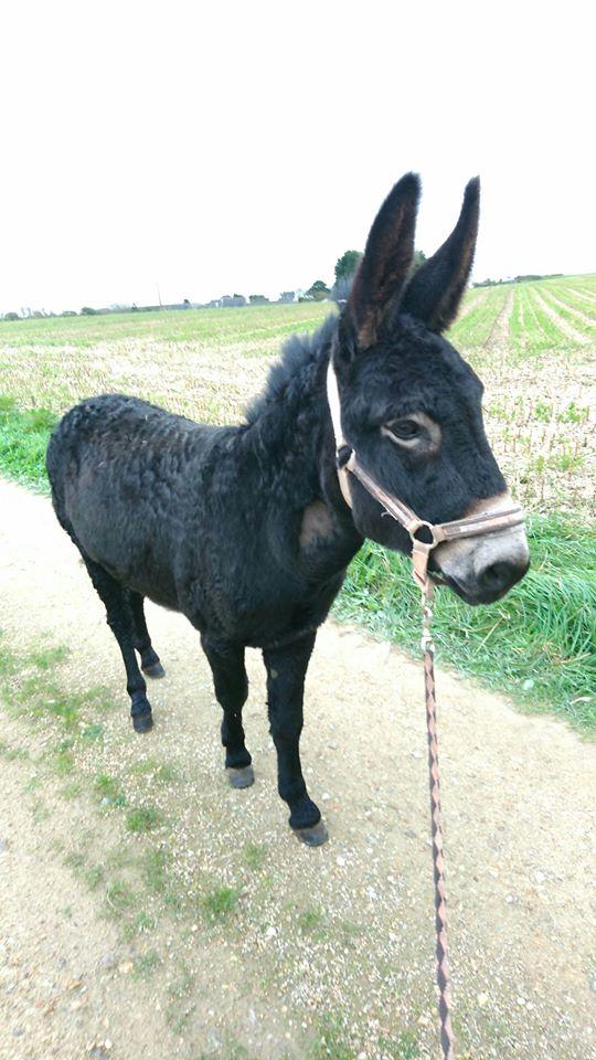 PACO - âne mâle noir - 5 ans Paco_115