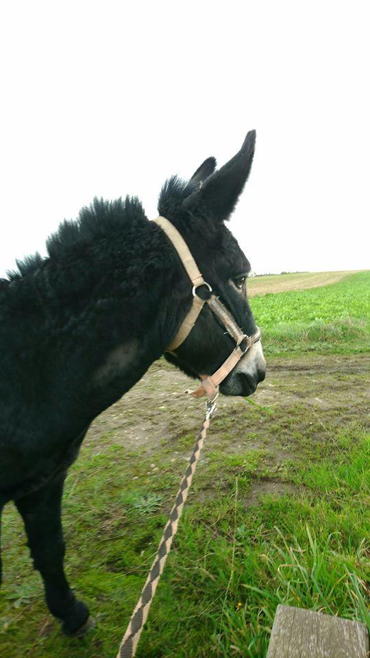 PACO - âne mâle noir - 5 ans (réservé) Paco_210