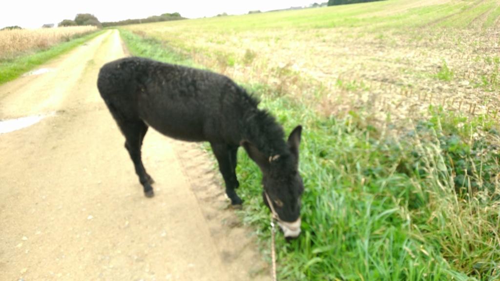 PACO - âne mâle noir - 5 ans (réservé) Paco_211