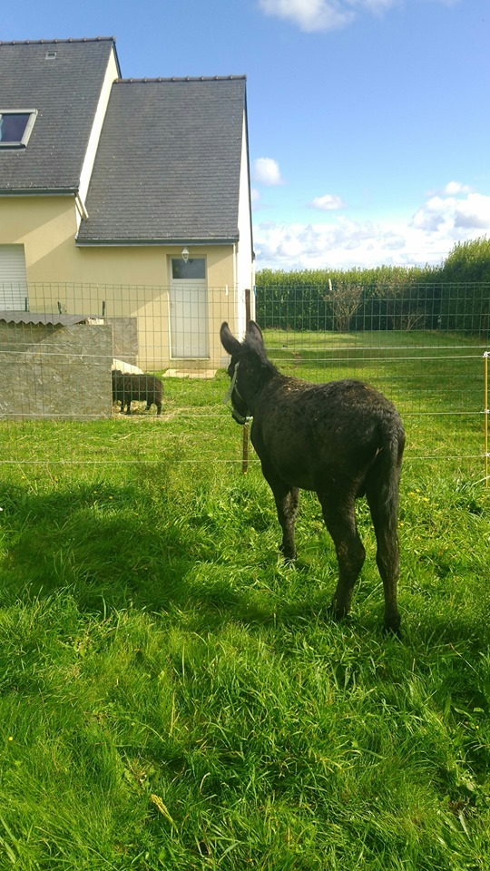 PACO - âne mâle noir - 5 ans (réservé) Paco_510