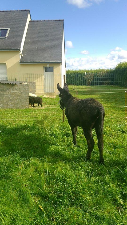 PACO - âne mâle noir - 5 ans Paco_510