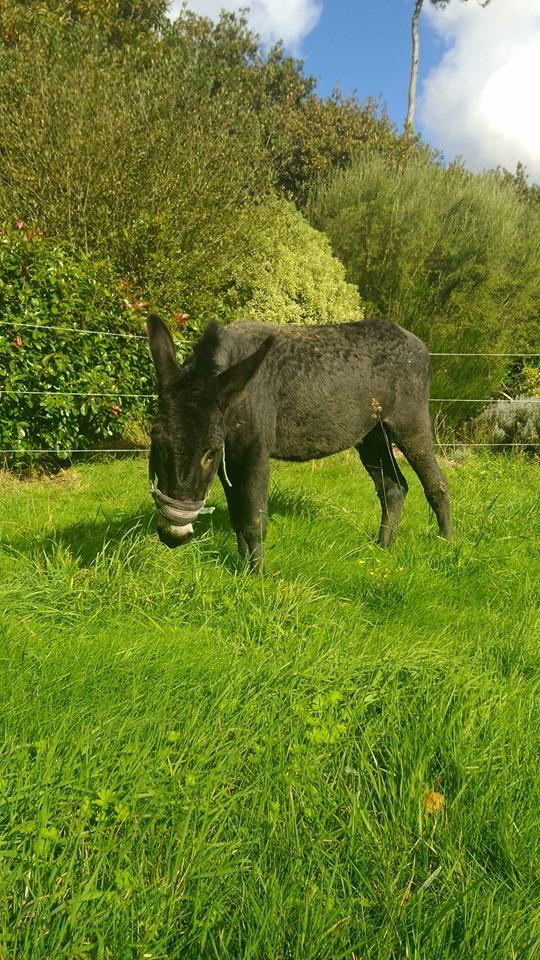 PACO - âne mâle noir - 5 ans (réservé) Paco_910