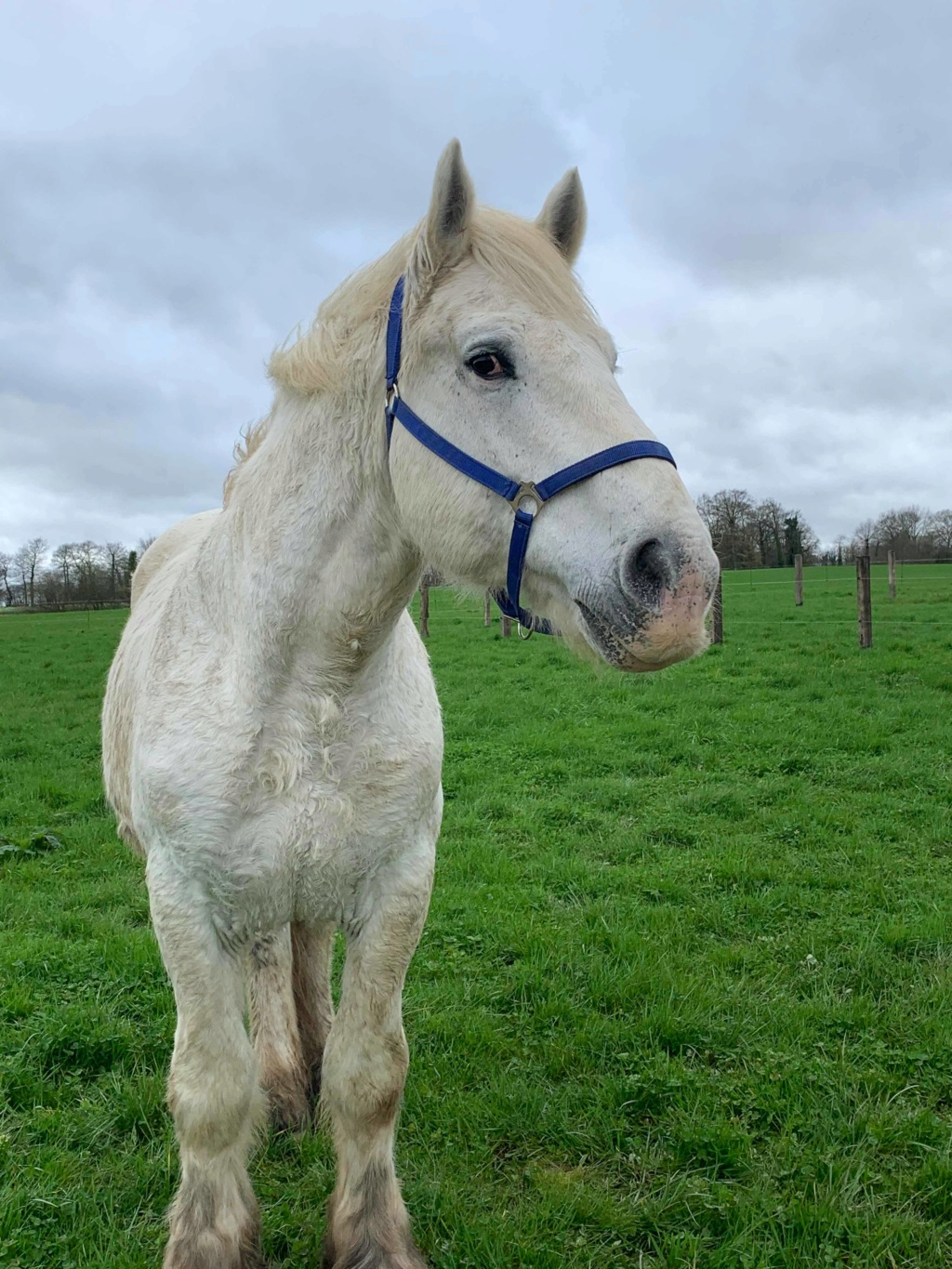 ULAN DE PIGEARD - trait percheron PP - 12 ans Ulan_110
