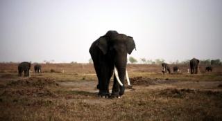zoologie mammifère IUCN WWF Indonésie Sumatra éléphant de Sumatra Elephas maximus sumatrensis janvier 2012 extinction espèce menacée Union internationale pour la conservation de la nature