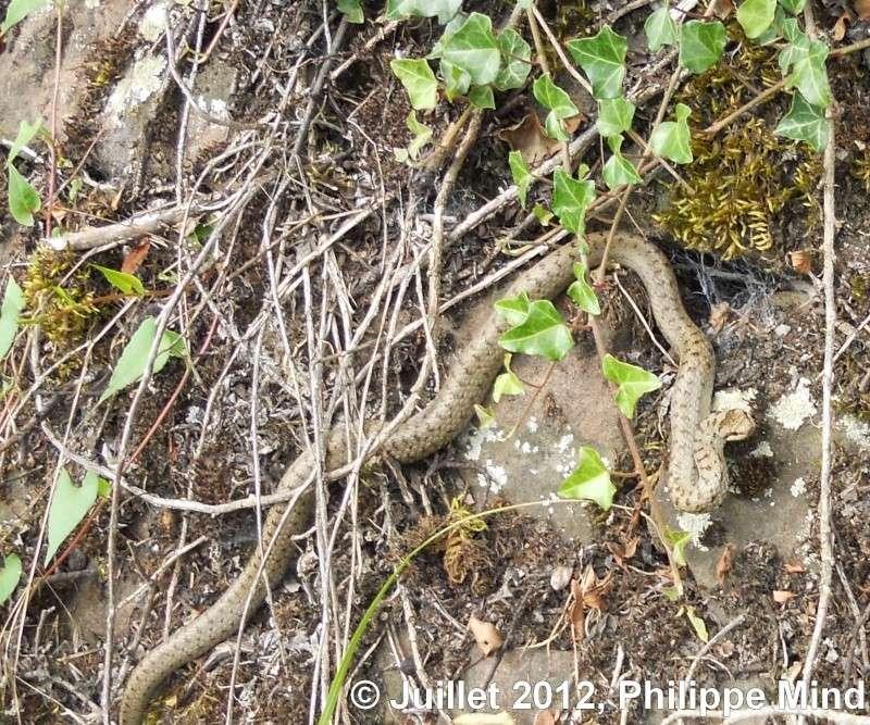 zoologie - vipère péliade - vipera berus - juillet 2012 - reptile - serpent - animal à sang froid - Moselle - Lorraine - Philippe Mind