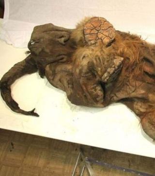paléontologie pachyderme relique mammouth laineux Mammuthus primigenius Yuka forum mammouth blond vénitien avril 2012 océan arctique nord de la république de Iakoutie Sibérie Russie Bernard Buigues tué par un grand félin lion des cavernes
