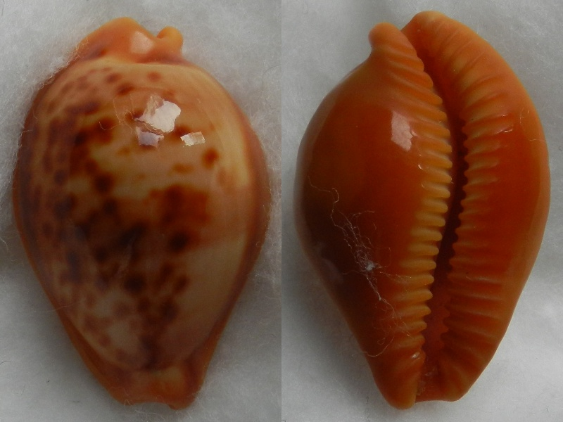 Propustularia surinamensis - (G. Perry, 1811) Cyprae31