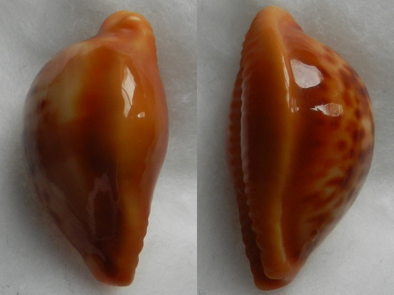Propustularia surinamensis - (G. Perry, 1811) Cyprae32