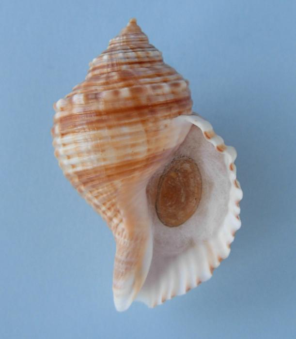 Cymatiidae Linatella caudata - (Gmelin, 1791) Linate11
