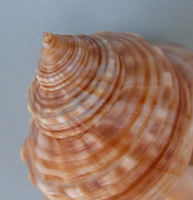 Cymatiidae Linatella caudata - (Gmelin, 1791) Linate12