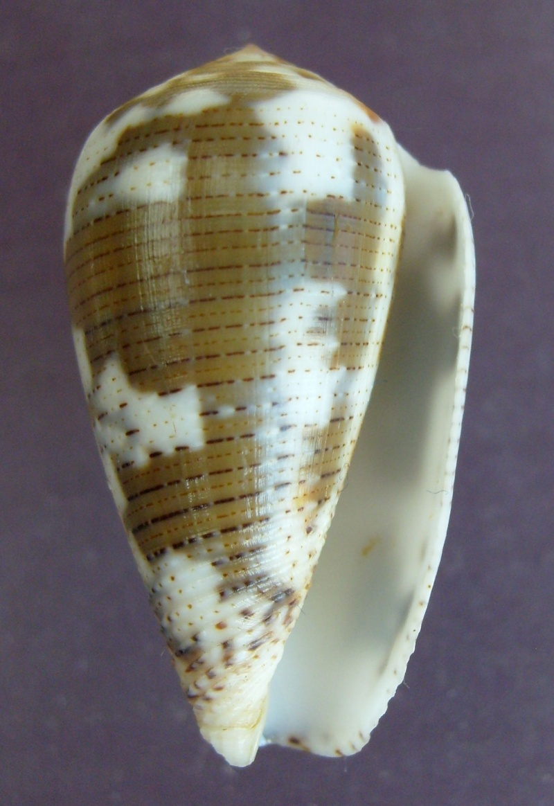 Conus (Pionoconus) striolatus (Kiener, 1848) S6300410