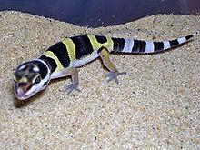 Gecko Leopard 220px-10