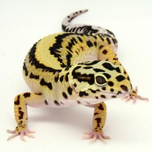 Gecko Leopard Bold-s10