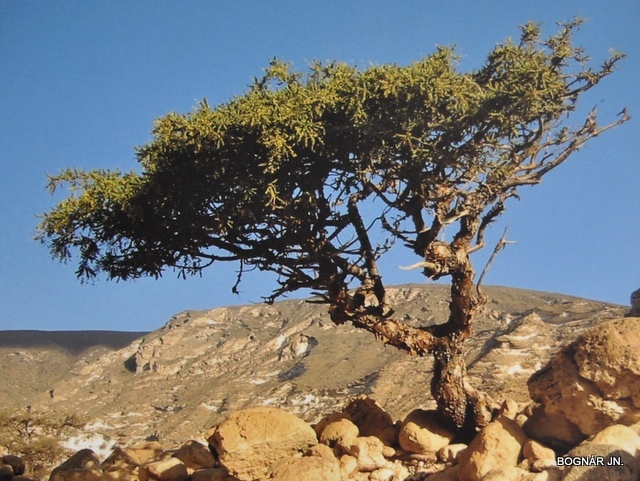 commiphora myrrha 53633110
