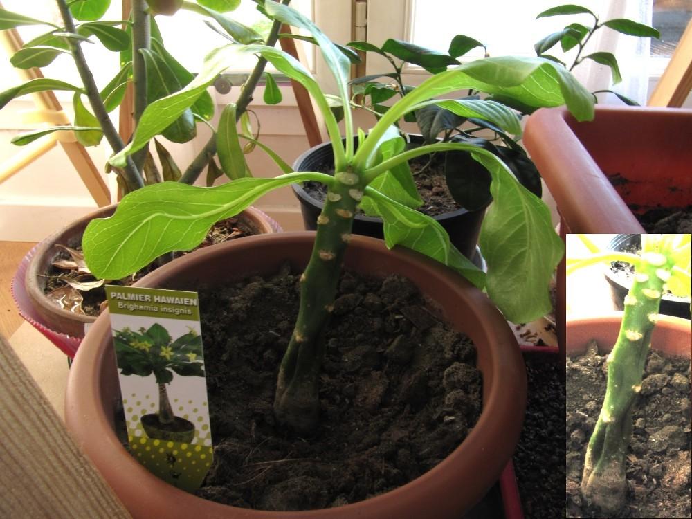 [Campanulaceae] Brighamia insignis Brug10