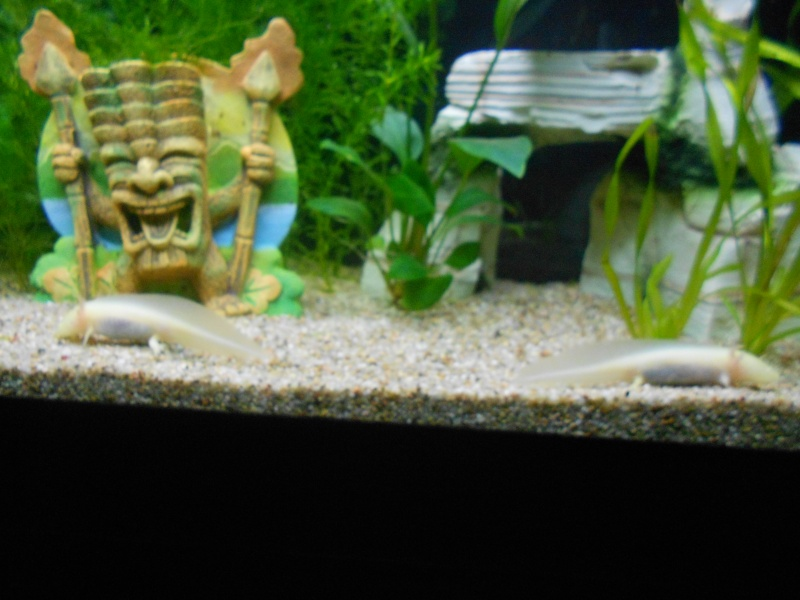 axolotl Dscn0719