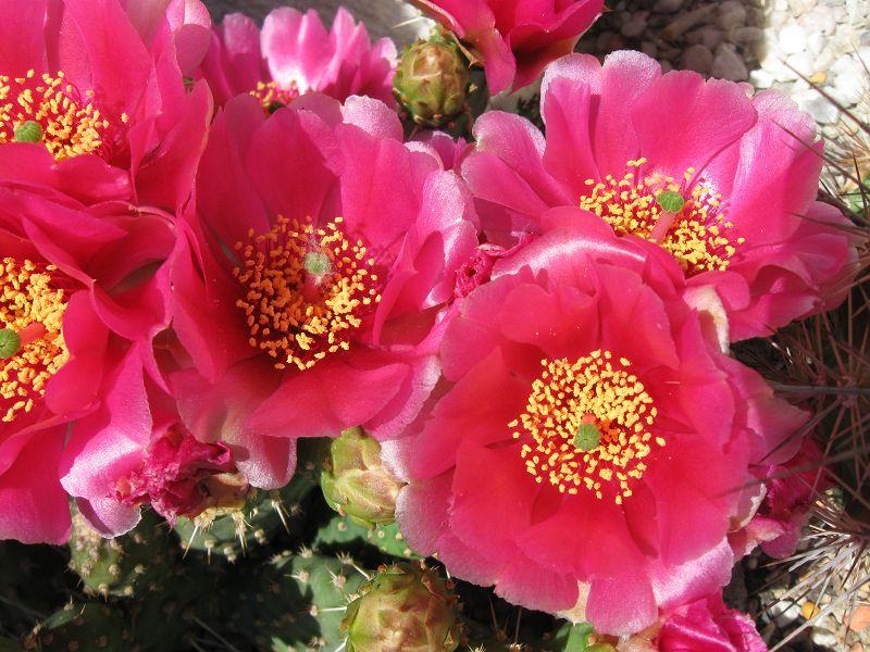 Opuntia fragilis K-mai_44