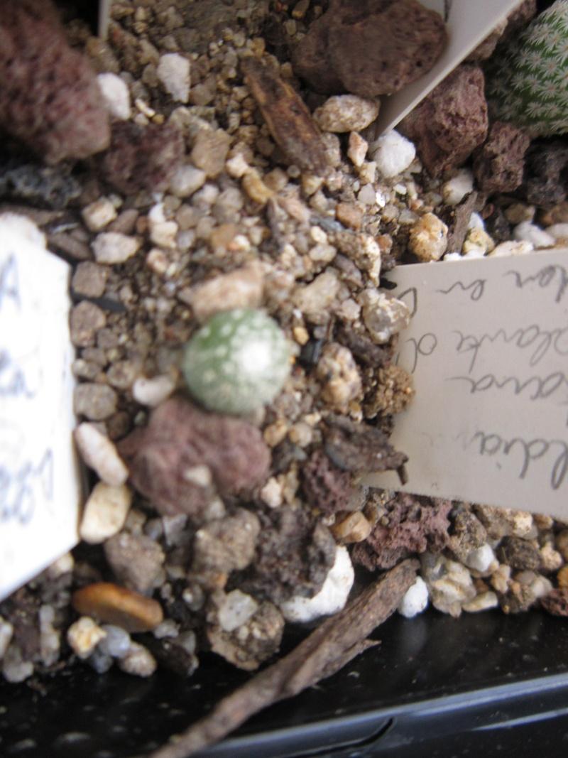 Toumeya papyracantha ,  test de culture... - Page 2 Blosse10