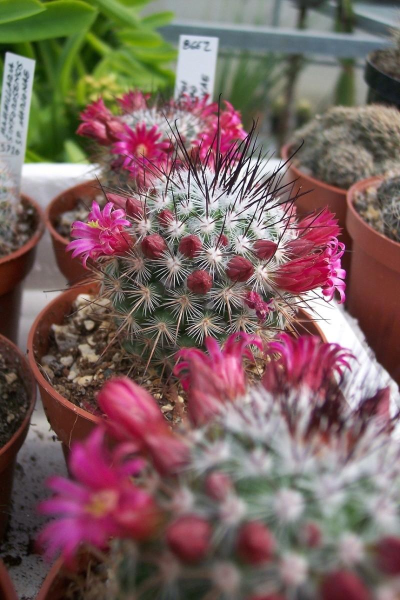 Mammillaria rekoi ML370 'krasukae' La Reforma, Oax. M.G. 866.2 02511
