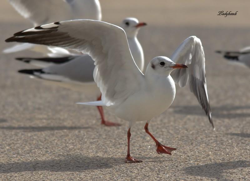 bonjour de la baie de somme ( oiseaux ) Img_0911