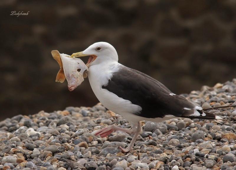 bonjour de la baie de somme ( oiseaux ) Img_1110