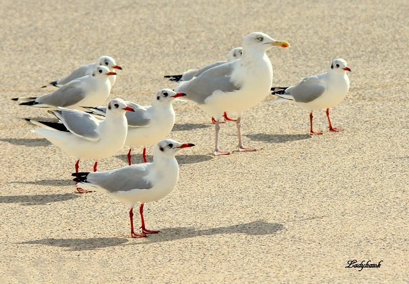 bonjour de la baie de somme ( oiseaux ) Mouett11