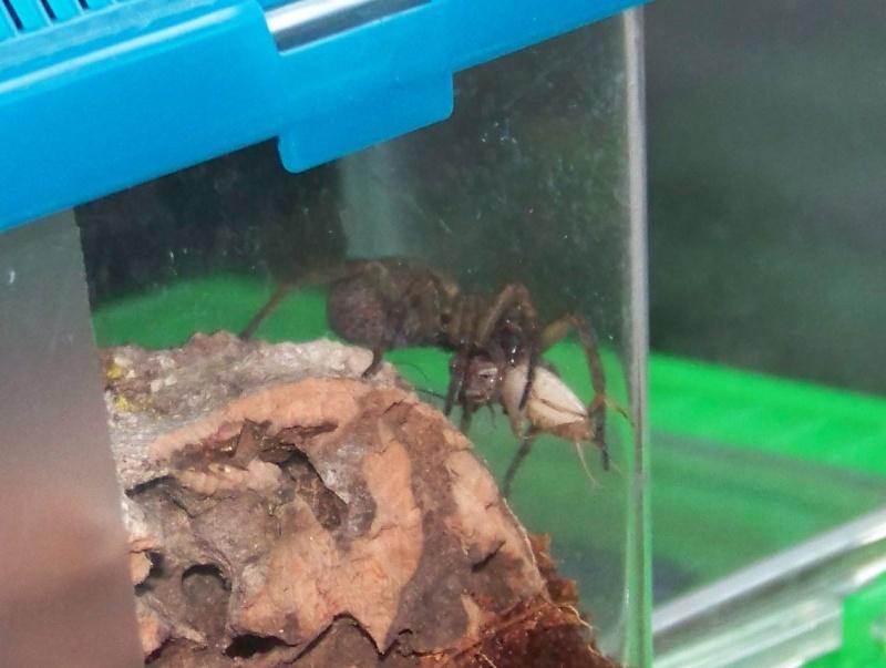 Wolf Spider (Lycosidae)  00910