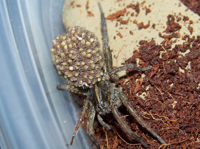 Wolf Spider (Lycosidae)  01912