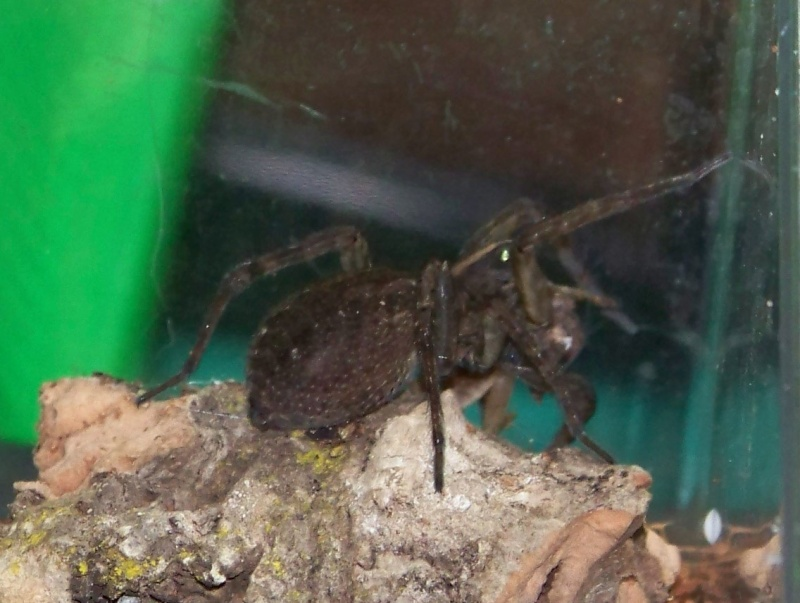 Wolf Spider (Lycosidae)  02310