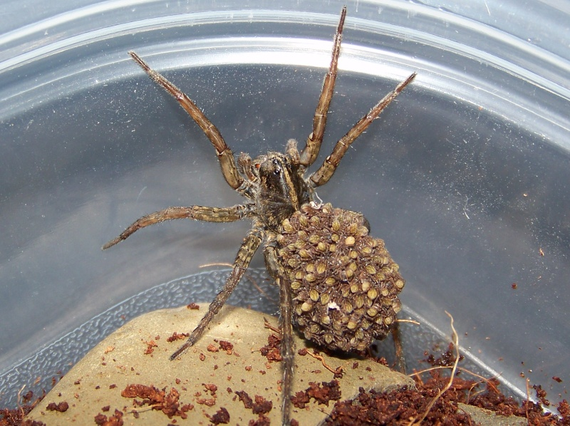 Wolf Spider (Lycosidae)  02413