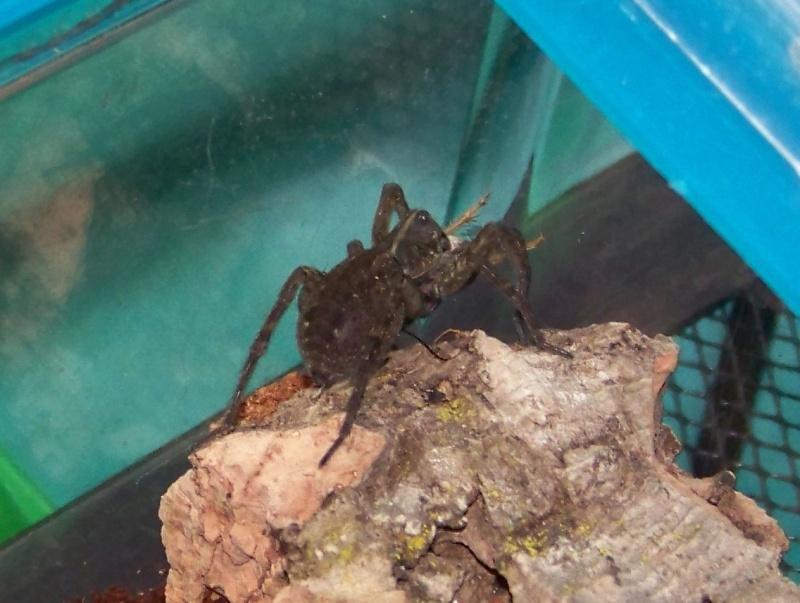Wolf Spider (Lycosidae)  02610