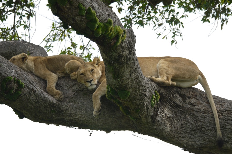 Nyota and Moja Masai Mara June 2012 P1030913