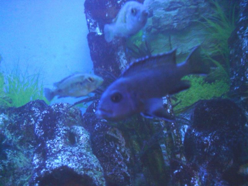 photos et videos de vos poissons du malawi Img_2036