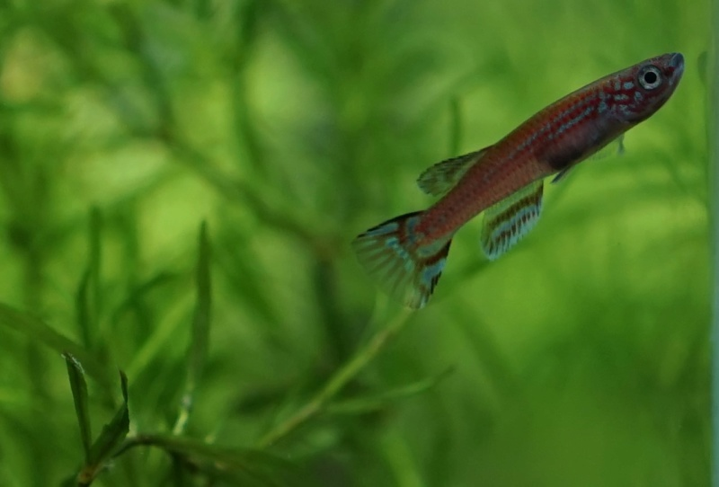 Elevage des killis (Aquarium) Dsc00110