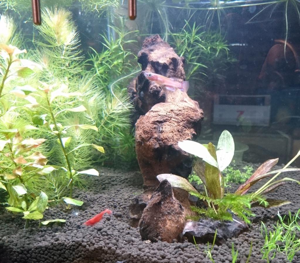 Elevage des killis (Aquarium) Dsc_3310